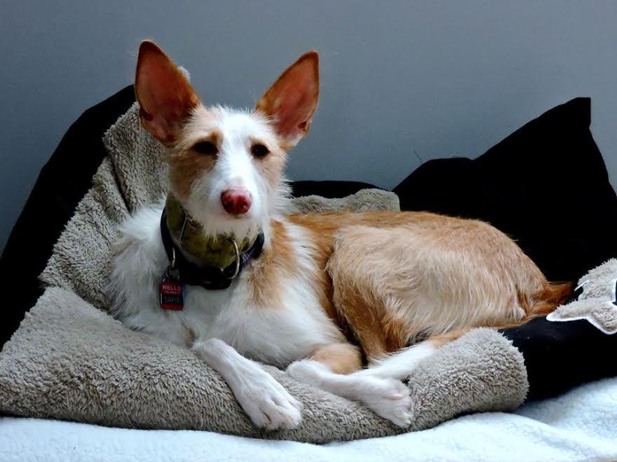 The Spanish Podenco Greyhound Pets Of Atlantic Canada